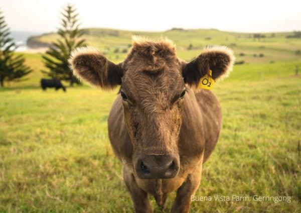 2021 calendar Buena Vista Farm cow