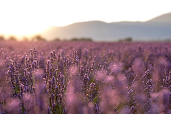 Lavender in the Light - Golden afternoon light streams through a field of lavender. Provence, France
