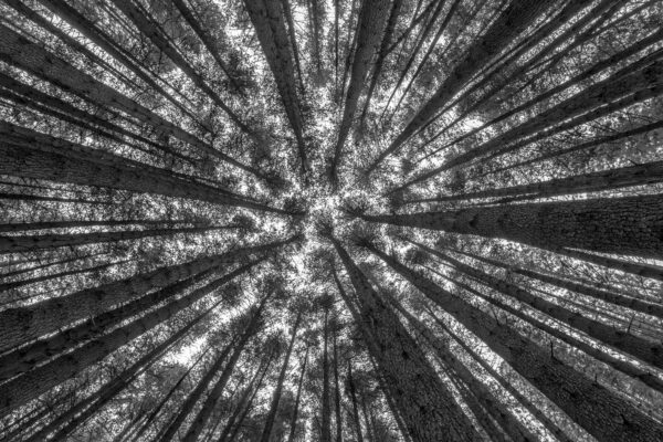 Look up - A different perspective of the towering trunks of Sugar Pine Walk. Laurel Hill, Australia